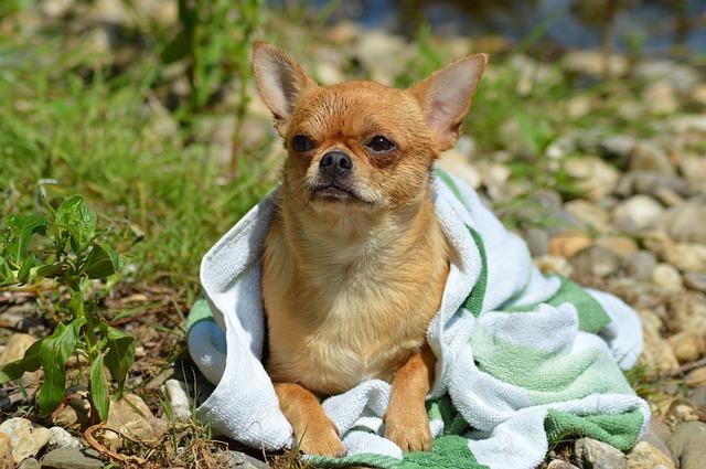 Chien Chihuahua enveloppé dans une serviette