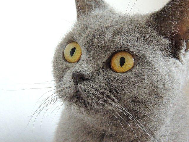 Grands yeux oranges de chat Chartreux