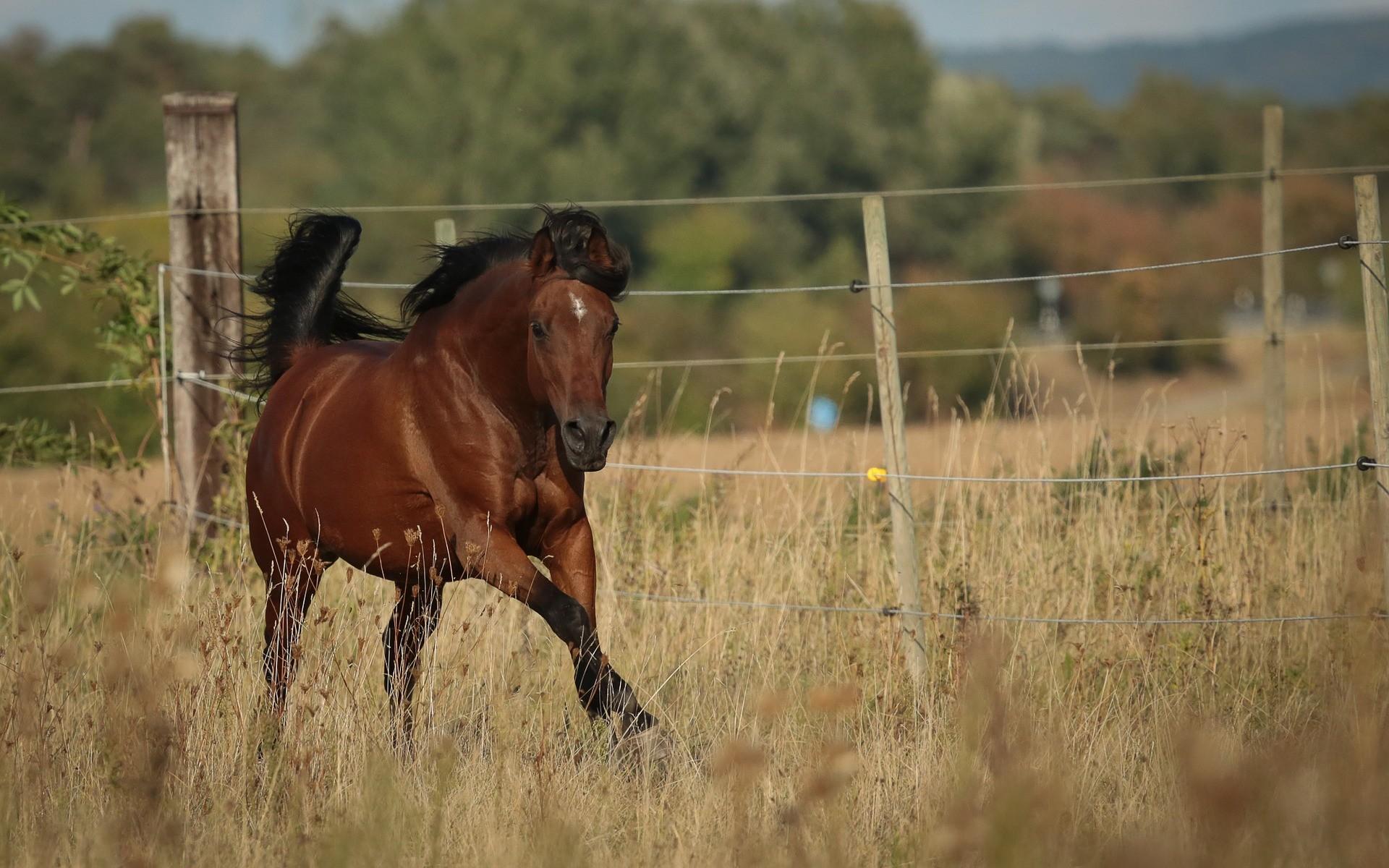 cheval arabe trait