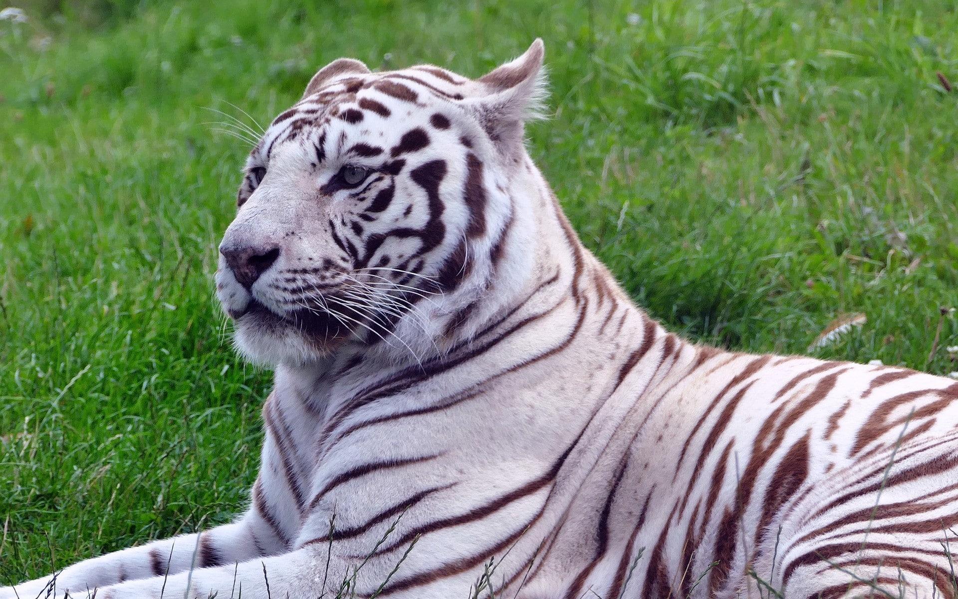 Luxe Dessin A Imprimer Tigre Blanc - mademoiselleosaki.com