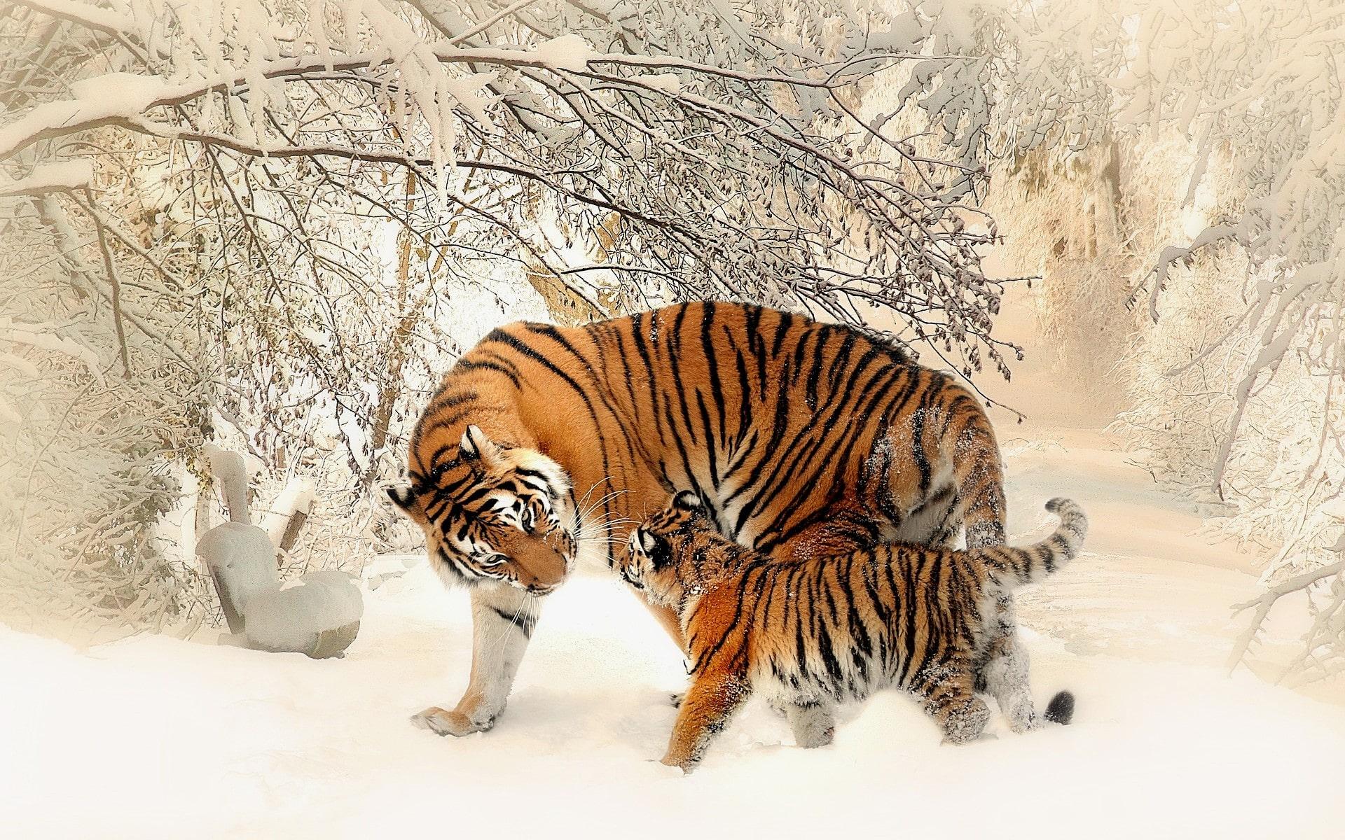 Fond Ecran Tigre Gratuit