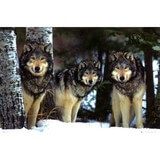 Poster Affiche Animaux Loups Neige Hiver