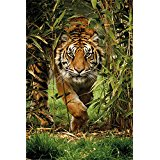 Poster Affiche Animaux Tigre Jungle