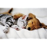 Poster Affiche Animaux Chat Chien Sieste