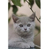 Poster Affiche Animaux Chaton British Shorthair