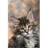 Poster Affiche Animaux Chaton Maine Coon