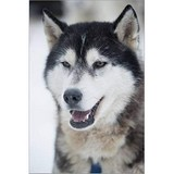 Poster Affiche Animaux Chien Siberian Husky