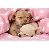 Poster Affiche Animaux Chiens Chiots Sieste Chihuahua
