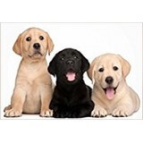 Poster Affiche Animaux Chiens Labrador