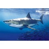 Poster Affiche Animaux marins Requin blanc
