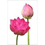 Poster Affiche Nature Fleurs Lotus roses