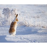 Poster Affiche Animaux Lapin Neige