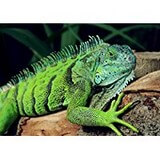 Poster Affiche Animaux Reptile Iguane vert