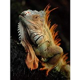 Poster Affiche Animaux Reptile Iguane