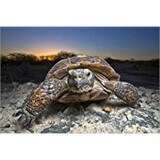 Poster Affiche Animaux Reptile Tortue Texas